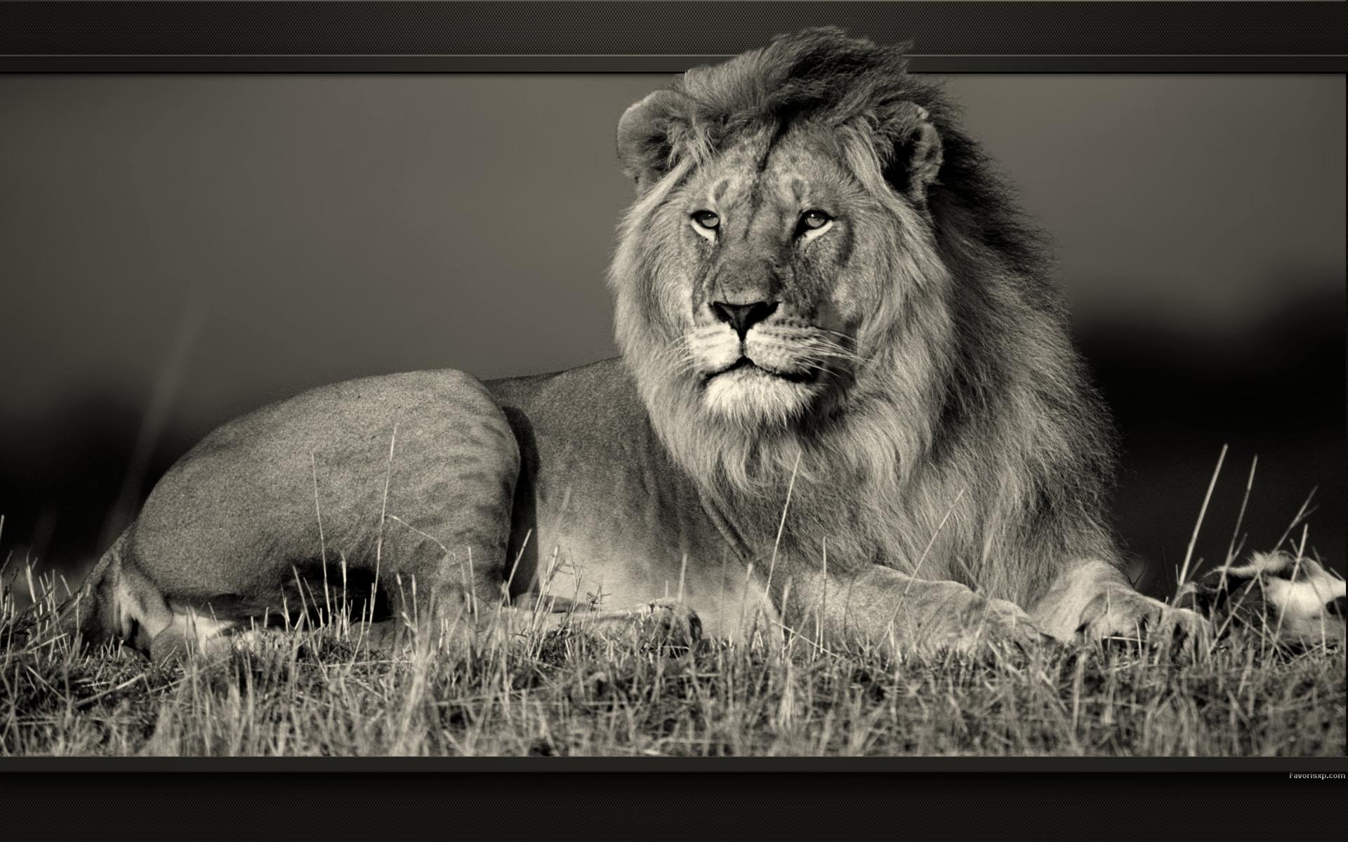 Extrêmement Images of Lion Blanc Wallpaper - #SC UJ46